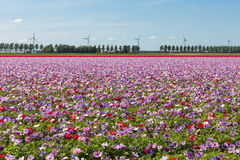 Dutch field with purple blooming anemones Stock Photography