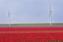 Dutch field of tulips with windmills behind it Stock Images