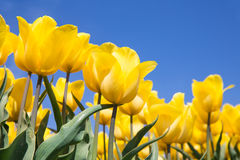 Dutch field with yellow tulips and a blue sky Stock Photography