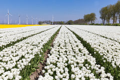Dutch fields with white tulips and wind turbines Stock Photos