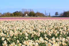 Dutch fields witn many daffodils and hyacinths Royalty Free Stock Photo