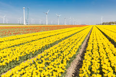 Dutch fields with yellow tulips and wind turbines Stock Photography