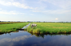 Dutch flat landscape with cows and grass fields Stock Photography