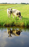 Dutch flat landscape with cows and grass fields Royalty Free Stock Images