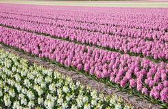 Dutch flowers Royalty Free Stock Image