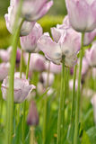 Dutch Flowers (4) Stock Photos