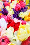 Dutch Flowers in different colours Stock Image