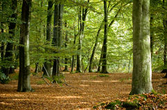 Dutch forest in autumn Royalty Free Stock Photography