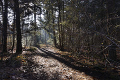 Dutch forest in autumn on a sunny day with blue sky and beautiful sun rays Royalty Free Stock Photography