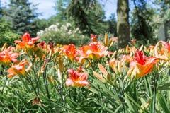 Dutch garden with colorful blooming Hemerocallis Stock Photography