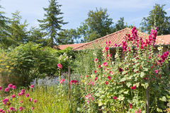 Dutch garden with colorful blooming hollyhocks Stock Image