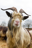 Dutch goat portrait Royalty Free Stock Photos