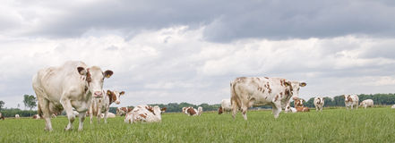 Dutch grazing cow wih clouds.  Royalty Free Stock Photos