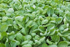 Dutch greenhouse with closeup cultivated vegetables (Bok Choy taisai) Royalty Free Stock Images