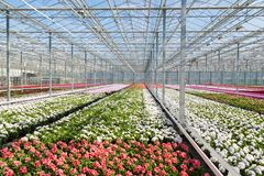 Greenhouse with colorful geranium plants Stock Photography