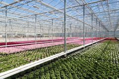 Greenhouse with colorful geranium plants Royalty Free Stock Photography