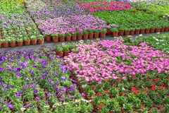 Dutch glasshouse with cultivation of colorful begonia and violet flowers Royalty Free Stock Image