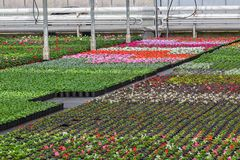Dutch glasshouse with cultivation of colorful begonia and violet flowers Stock Image