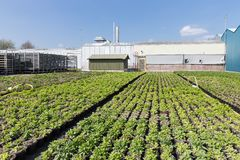 Dutch greenhouse with cultivation of plants Stock Image