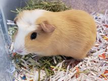 Dutch Guinea Pig royalty free stock photography