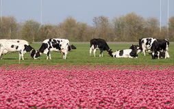 Dutch holsteiner cows. Royalty Free Stock Photography