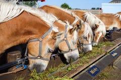 Dutch Horses Stock Image