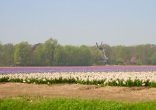 Dutch hyacinth flowers field Royalty Free Stock Photos