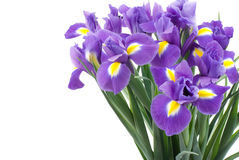 Dutch iris Royalty Free Stock Photo