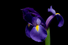 Dutch iris. Iris over black - dutch iris macro with limited dof Royalty Free Stock Photos