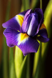 Dutch Iris Stock Photos