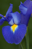 Dutch iris flower Stock Photos