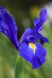 Dutch Iris Professor Blaauw, glistens after rain in the garden Royalty Free Stock Photo