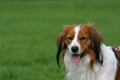 Dutch kooiker dog Stock Images