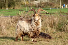Dutch land goat Royalty Free Stock Photos