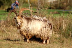 Dutch land goat Stock Photography