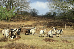 The Dutch Landrace Goat Stock Images