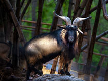 Dutch Landrase. In The zoo from Chiangmai Thailand royalty free stock photography