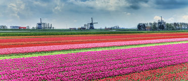 Dutch Landscape. Beautiful Dutch rural landscapes with colourful fields of tulips in the foreground and traditional windmills in the distance Royalty Free Stock Photos