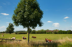 Dutch landscape with cows Royalty Free Stock Image