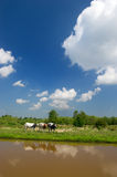 Dutch landscape with cows Royalty Free Stock Photo