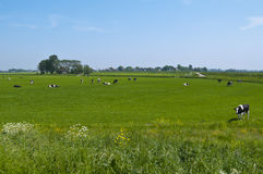 Dutch landscape with cows Stock Photography