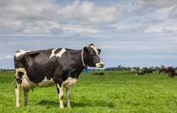 Dutch landscape with cows in a green meadow Stock Photo