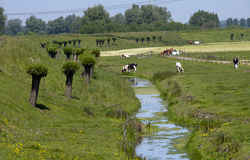 Dutch landscape with cows and river Royalty Free Stock Photos