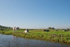 Dutch landscape with cows Stock Images