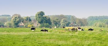 Dutch landscape with farm and cows. Dutch landscape with farm, blooming trees and cows on a silent april morning Royalty Free Stock Photography