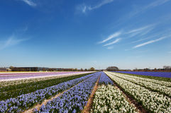Dutch landscape with flower bulbs Stock Image