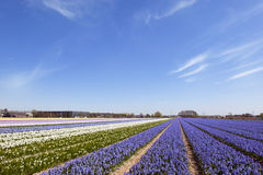Dutch landscape with Hyacinth flowers Stock Photo