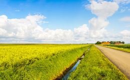 Dutch landscape with a large field of yellow blooming rapeseed p Stock Images