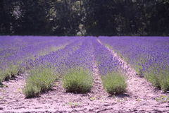 Dutch landscape lavender Stock Image