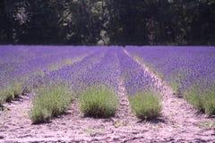 Dutch landscape lavender stock image